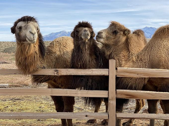 """Daytime, Overnight """"Glamping"""" Now Available at Desert Ranch Experience by Camel Safari"""