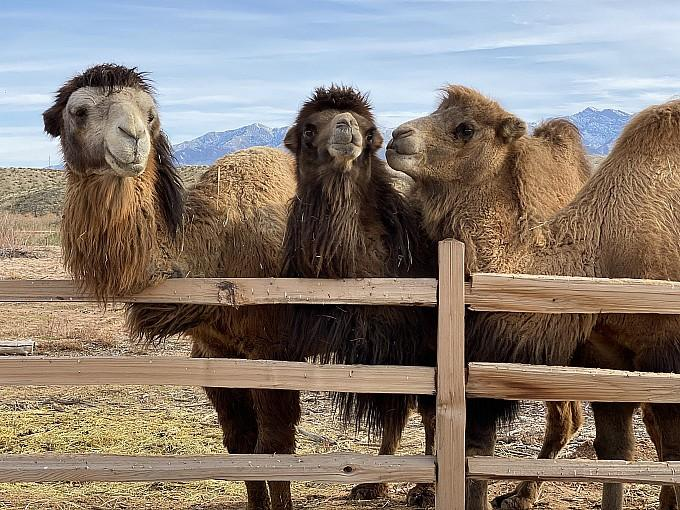 """""""Canna-Camels,"""" Ultimate Cannabis-and-Camel-Themed Day Trip from Las Vegas, Now Available at Desert Ranch Experience by Camel Safari"""