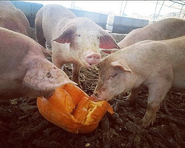 Pumpkin Recycling Begins Monday Across the Valley - Help Feed Local Livestock