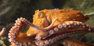 Shark Reef Aquarium's Giant Pacific Octopus Predicts Croatia to Win Soccer's International Championship Final July 15