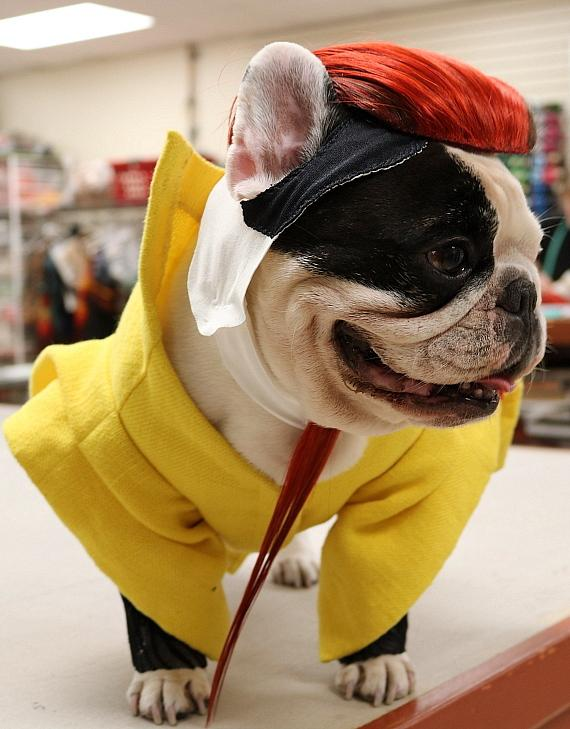 Manny The Frenchie poses in his custom costume at KÀ by Cirque du Soleil on Saturday, Nov. 18, 2017