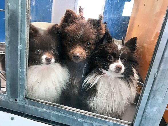 The Animal Foundation to Partner with the Vegas Golden Knights to Kick off Adoptions for Rescued Pomeranians