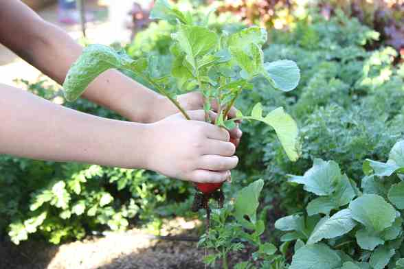 """Ruby Thomas – A student from Ruby Thomas Elementary School holds a radish, one of the many vegetables growing in the """"Whole Foods"""" edible garden"""