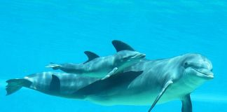 "Baby Bottlenose Dolphin at The Mirage Named ""Lady Ace"" to Honor Hometown WNBA Team"