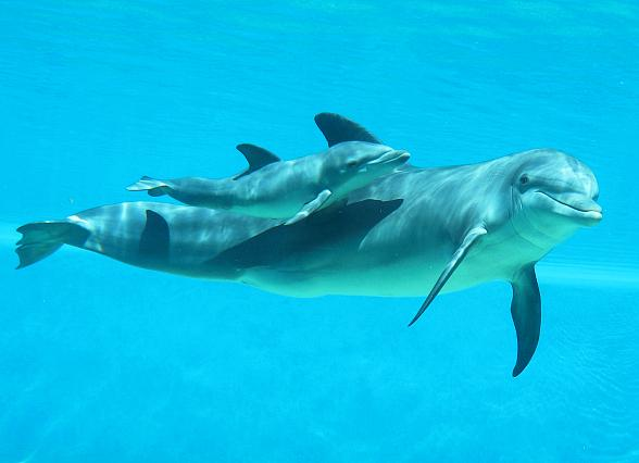 """Baby Bottlenose Dolphin at The Mirage Named """"Lady Ace"""" to Honor Hometown WNBA Team"""
