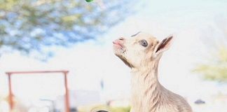 Goat Yoga Event at Silverton Casino Hotel October 13, 2018