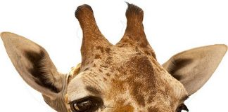 Celebrate Nevada's Giraffe's 5th Birthday at Lion Habitat Ranch, March 16