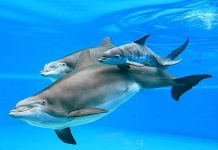 New Addition to Siegfried & Roy's Secret Garden and Dolphin Habitat at The Mirage Las Vegas
